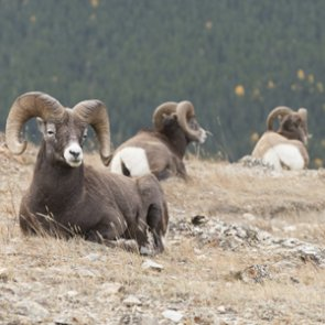 Montana may move sheep out of state