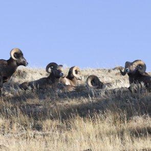 Montana's bighorn dilemma