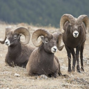 "Montana: ""Our bighorns stay here"""