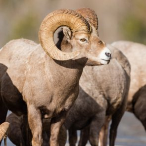 Montana bill to make bighorn sheep, moose, mountain goat once in a lifetime licenses