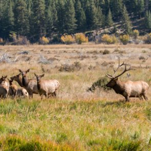 Elk overpopulation in SW Montana