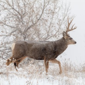 Montana FWP seeks information on four poached mule deer