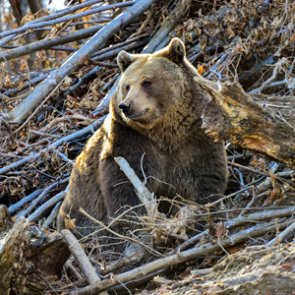 Three hunters survive grizzly bear attack in Montana