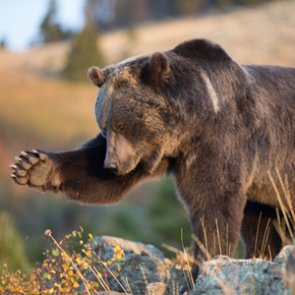 Montana woman survives grizzly attack