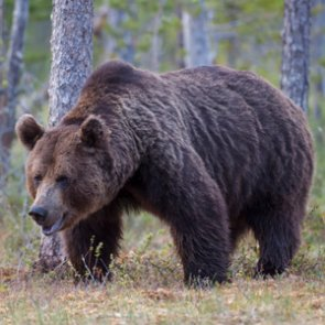 Montana bowhunter survives grizzly attack