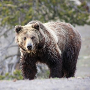Another Montana grizzly attack