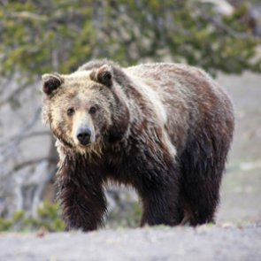 Two new research studies focus on grizzlies in Bitterroot Mountains