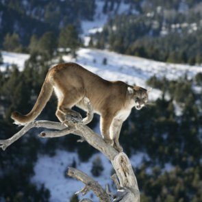 Montana seeks comments on mountain lion management strategy