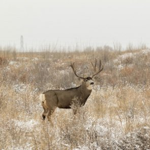 Liberty County, Montana deer test negative for CWD