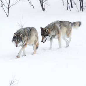 Montana wolf and coyote hunt on despite protests