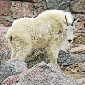 Grand Teton mountain goat cull over for now