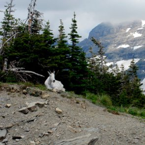 WY Game and Fish Commission against Grand Teton mountain goat removal