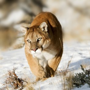 No license for Mountain lions in New Mexico
