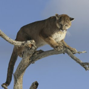 New mountain lion quotas cause controversy