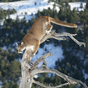 Mountain lions found eating human remains in Arizona