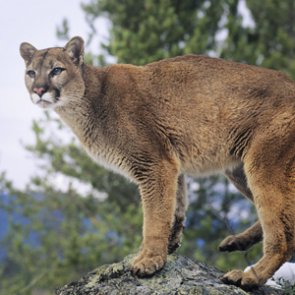Idaho study finds mountain lions kill more elk than wolves