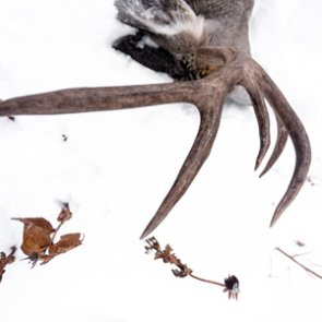 The keys to antler growth: Age, genetics, nutrition