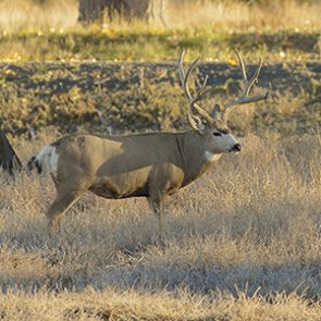 Positive mule deer outlook in SE Montana