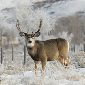 Idaho continues supplemental feeding for elk and deer