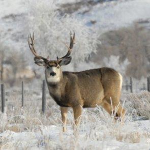 Idaho continues supplemental feeding for elk and deer