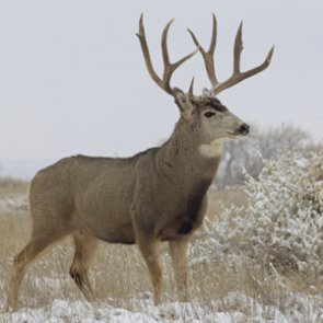 Mule deer on the rise in Montana