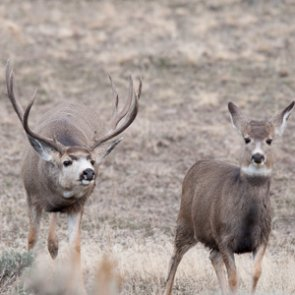 The science behind the mule deer rut