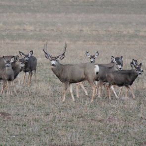 What triggers the mule deer rut?