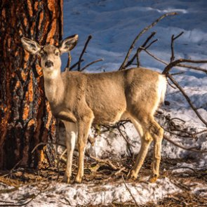 Recent winter not as hard on mule deer as Idaho officials thought