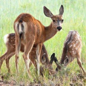 Pregnant mule deer: poached