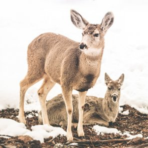 A vaccine for CWD?
