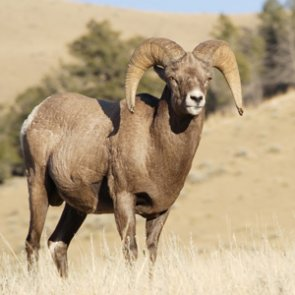 Pneumonia kills Pine Ridge bighorn sheep lambs