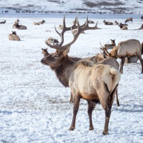 Game & Parks Commission gives NE rancher permission to kill 50 elk