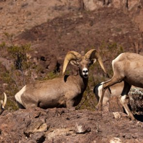 Feral dogs threaten bighorn sheep in Nevada