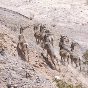 Did bighorn sheep once roam Fish Creek Range?