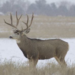 Utah man sentenced for poaching Nevada mule deer