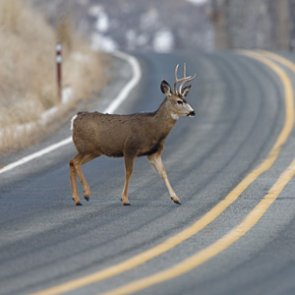 New poll finds over 90% of Nevadans in favor of wildlife migration crossings