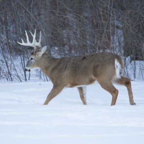 New CWD test could detect disease on live animals