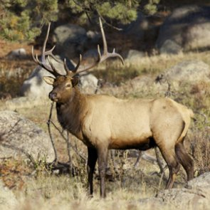 Opportunity: Late-season New Mexico bull elk tags