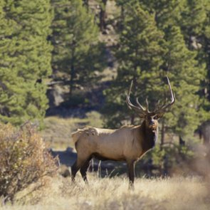 Elk population down at Ron Stewart Preserve in Colorado