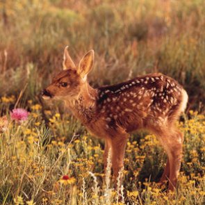 Idaho spring surveys show low survival rates for mule deer fawns