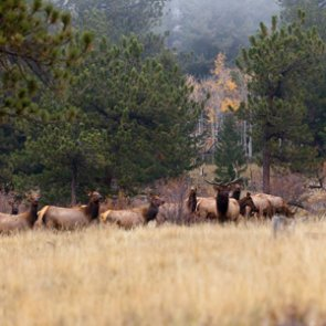 Expect fewer elk tags north of Missoula this season