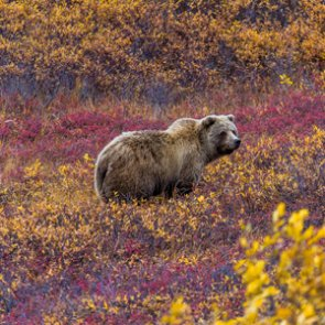 U.S. Justice Department challenges decision that blocked grizzly bear hunts