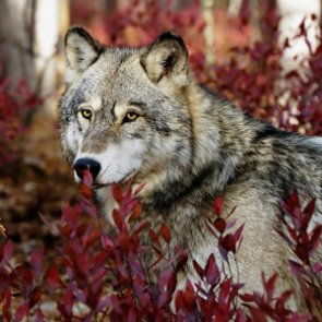 Bipartisan letter supports FWS's gray wolf delisting