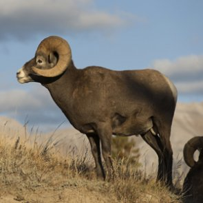 Bighorn sheep in western North Dakota thriving