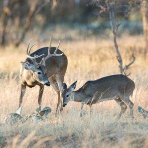 North Dakota deer populations holding steady