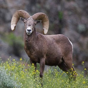 North Dakota will offer five bighorn sheep licenses in 2019