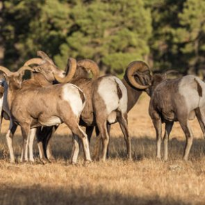 Disease confirmed in Oregon bighorn sheep herd