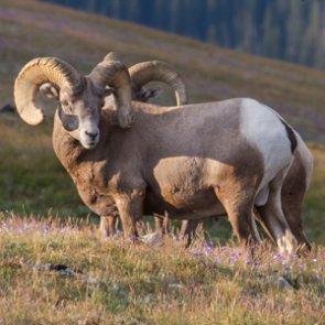 Bighorns get new homes in Oregon
