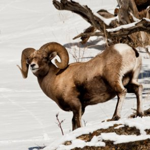 Oregon cancels two bighorn sheep hunts due to disease outbreak