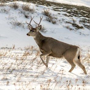 Oregon man arrested after riding mule deer